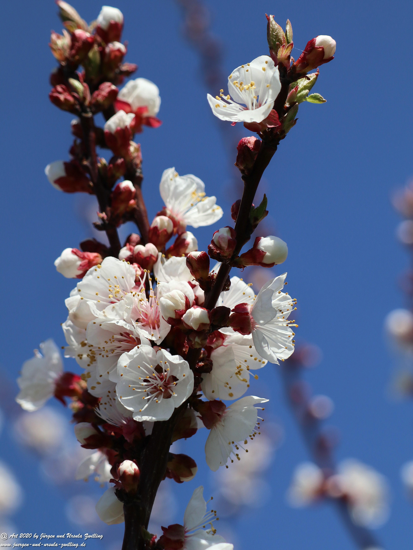 Aprikosenbaum Blüte 10