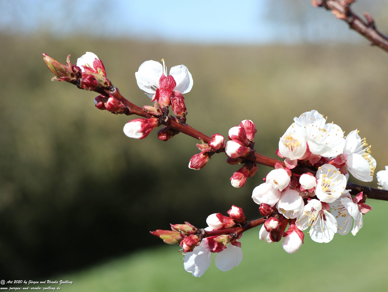 Aprikosenbaum Blüte 11