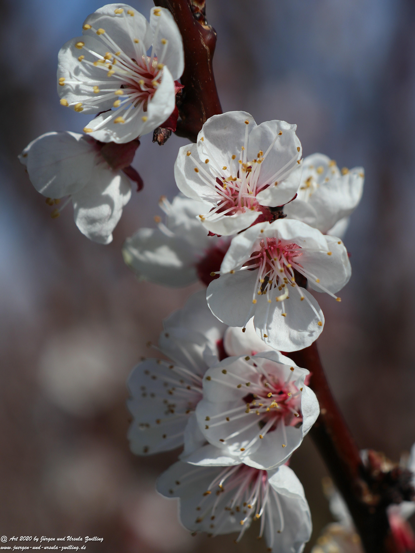 Aprikosenbaum Blüte 12