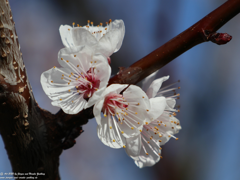 Aprikosenbaum Blüte 13