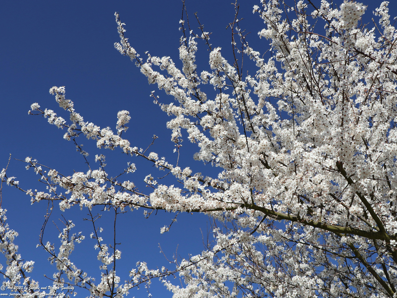 Mirabellenbaum Blüte 2