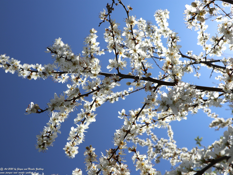Mirabellenbaum Blüte 3