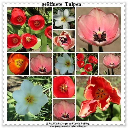 Geöffnete  Tulpen