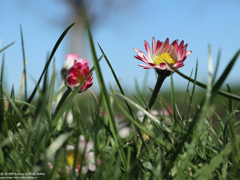 Gänseblümchen 1