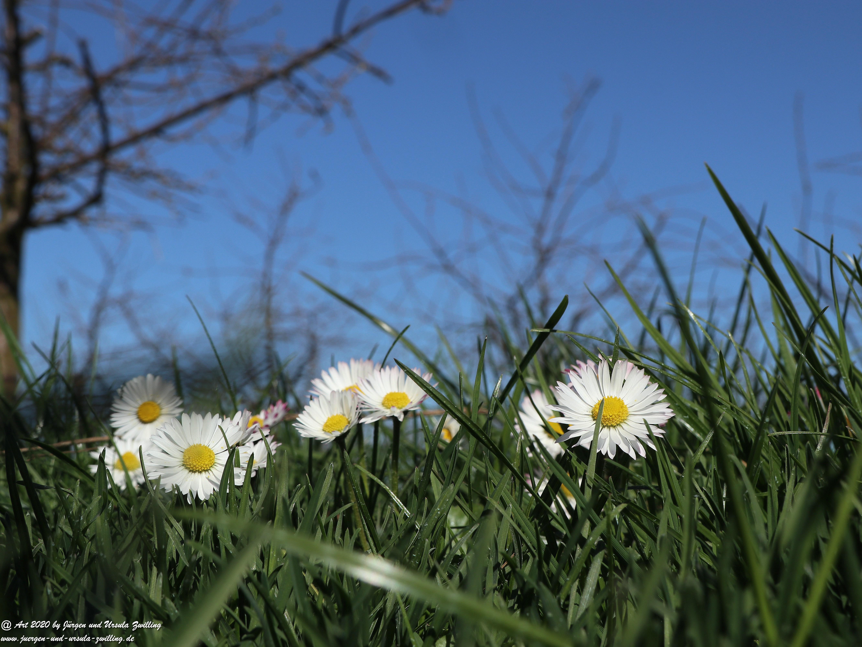 Gänseblümchen 3
