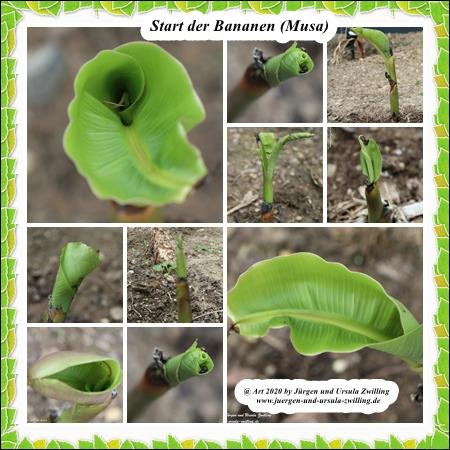 Start der Bananen (Musa) (winterhart)