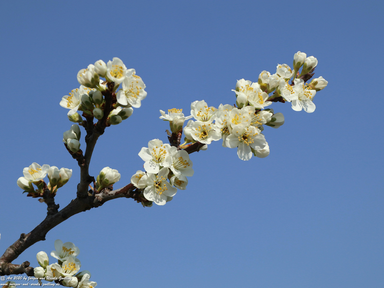 Pflaumenblüte 1