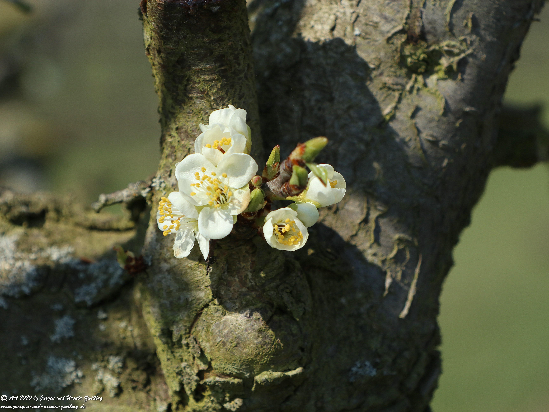 Pflaumenblüte 3