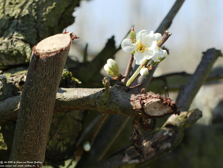 Pflaumenblüte 6