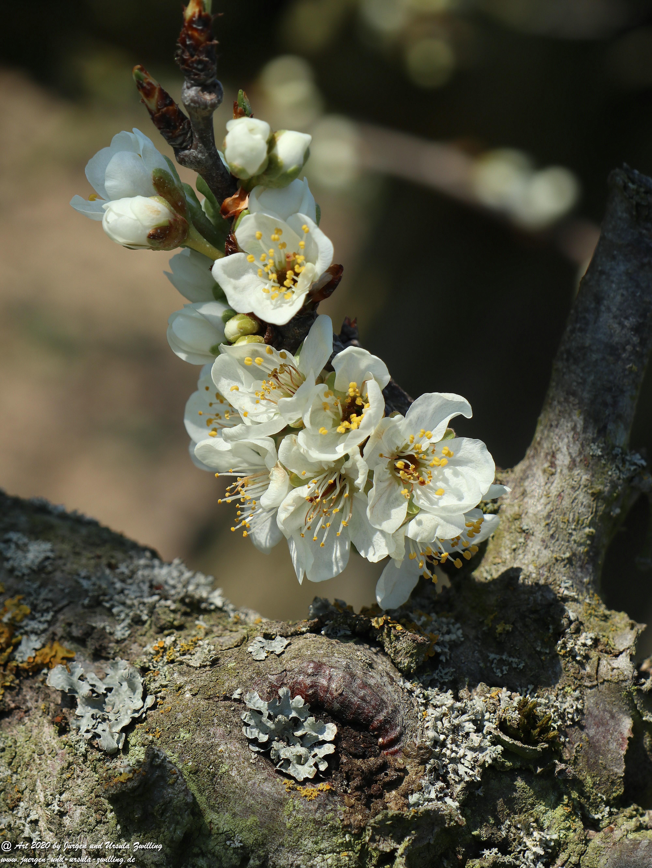 Pflaumenblüte 7