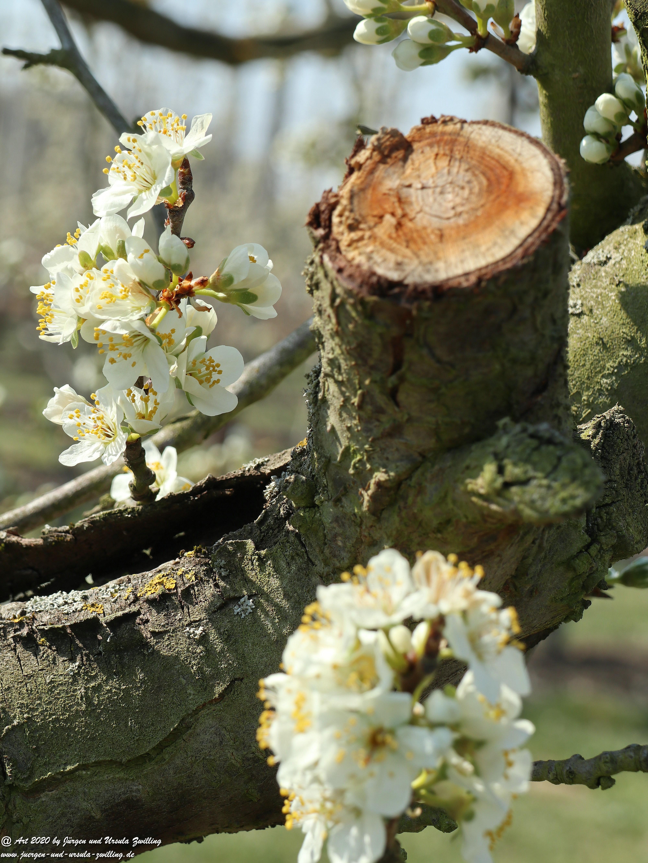 Pflaumenblüte 10