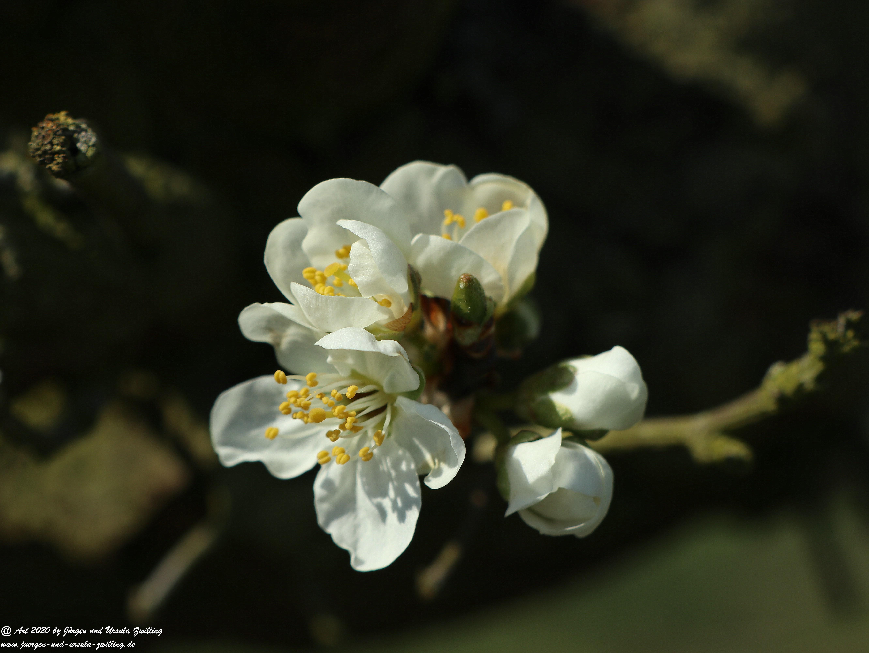 Pflaumenblüte 11