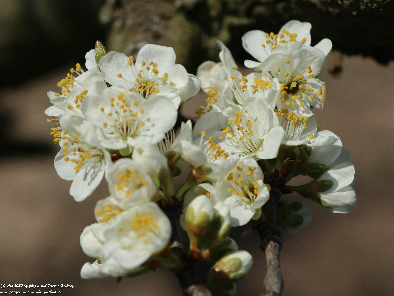 Pflaumenblüte 12