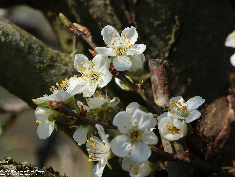 Pflaumenblüte 13