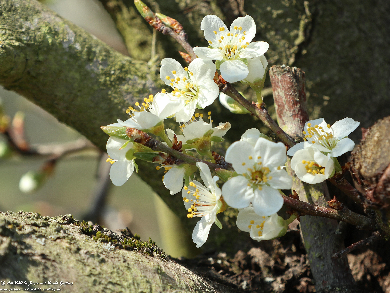Pflaumenblüte 14