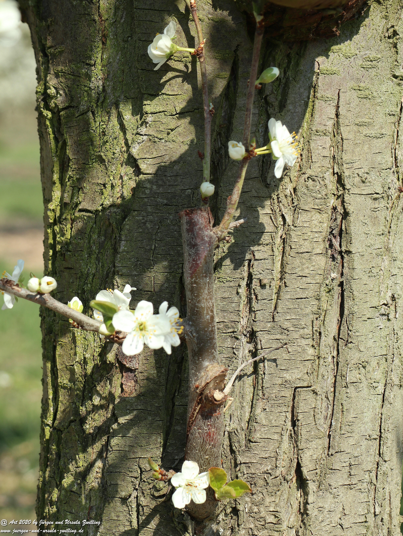 Pflaumenblüte 15