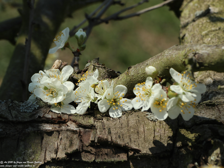 Pflaumenblüte 16