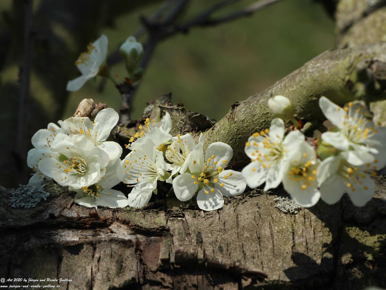 Pflaumenblüte 17