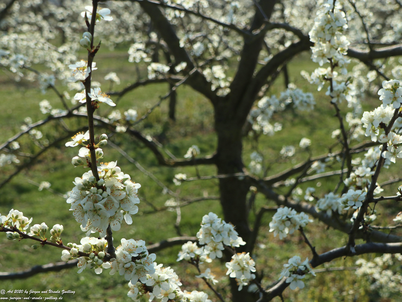 Pflaumenblüte 18