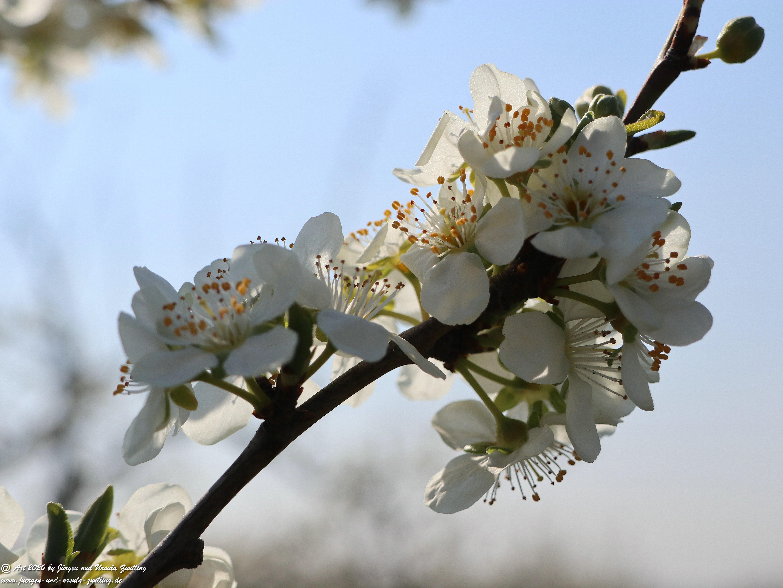 Pflaumenblüte 19