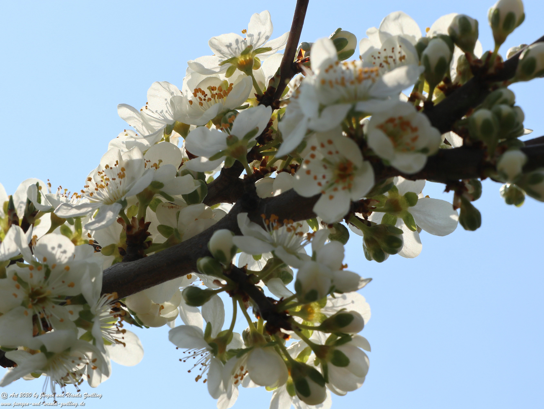 Pflaumenblüte 20