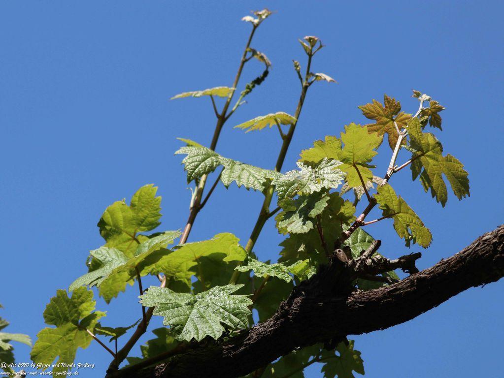 Weinreben (Vitis) - Junger Wein