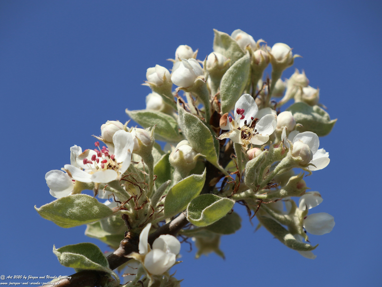Birnbaumblüte 1