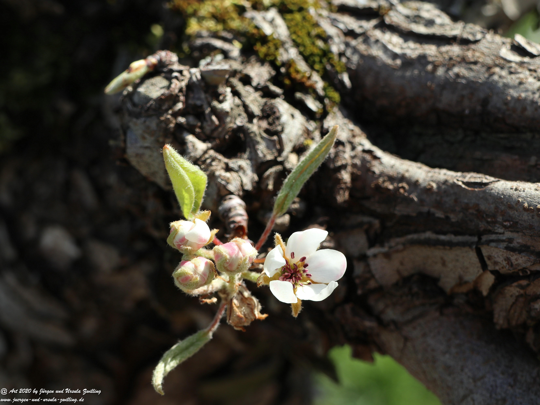 Birnbaumblüte 4