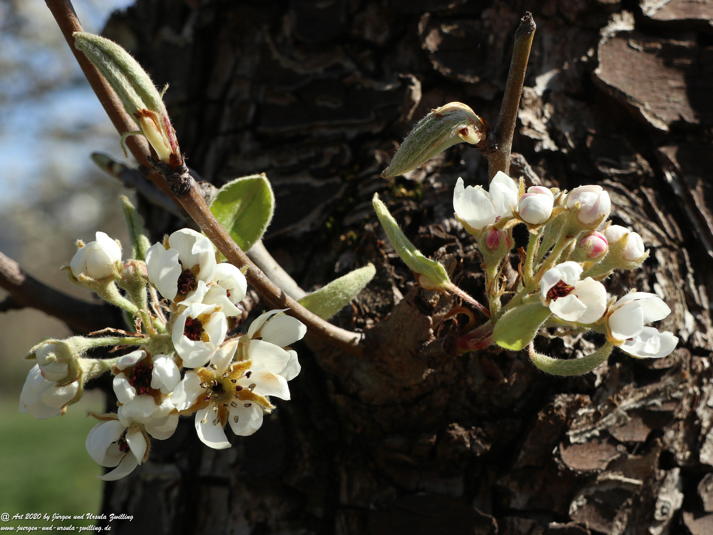 Birnbaumblüte 5