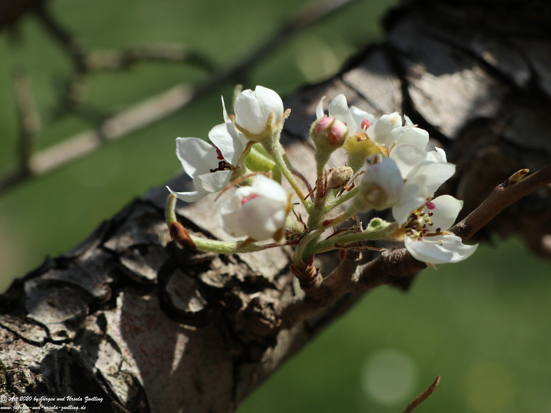 Birnbaumblüte 6