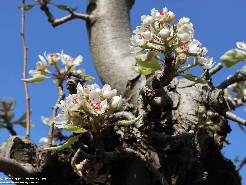 Birnbaumblüte 8