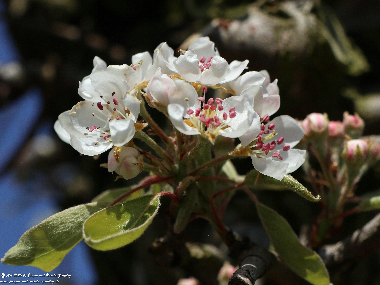 Birnbaumblüte 9