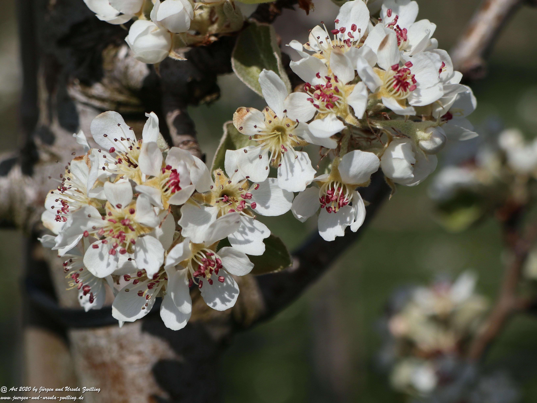 Birnbaumblüte 15