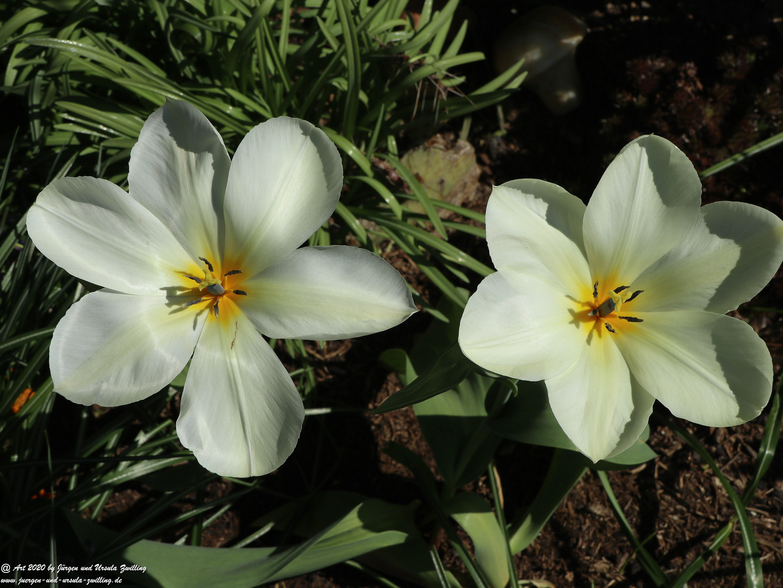 Geöffnete  Tulpen 5