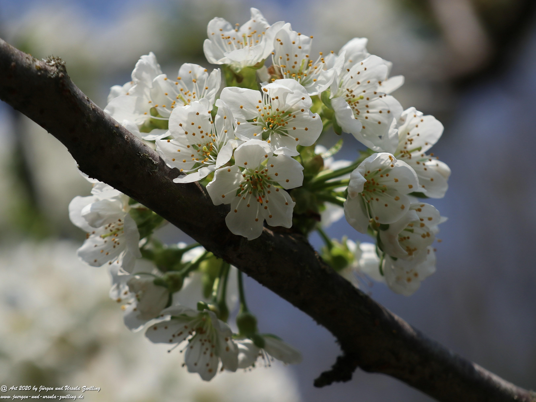 Kirschbaumblüte 5