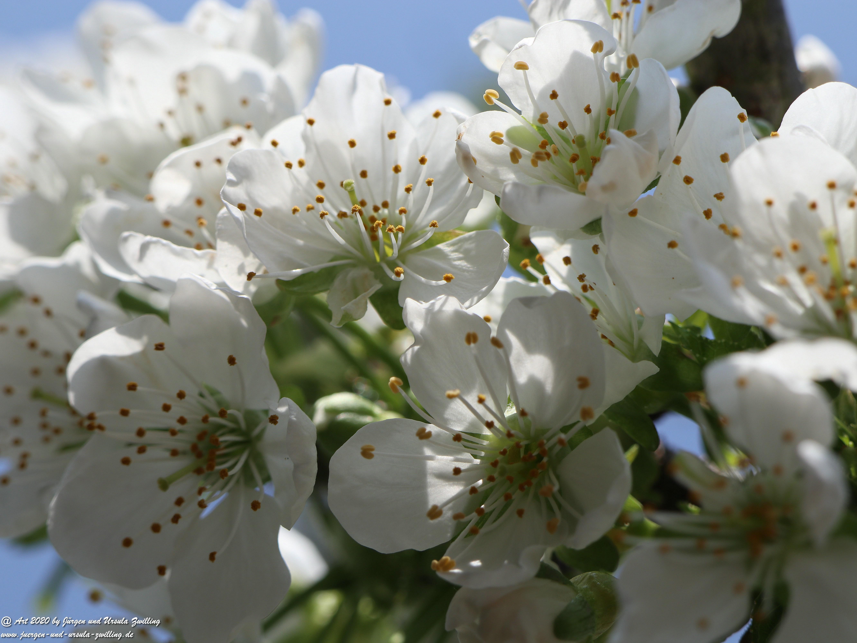 Kirschbaumblüte 7