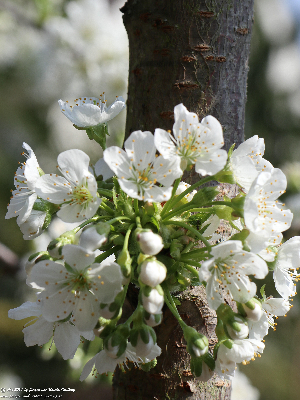 Kirschbaumblüte 8