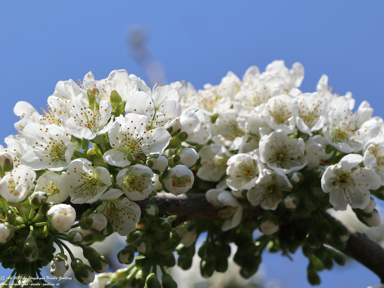 Kirschbaumblüte 12