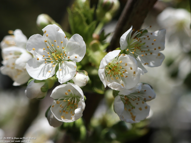 Kirschbaumblüte 14