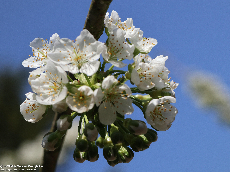 Kirschbaumblüte 15