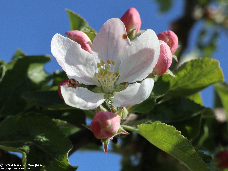 Apfelbaumblüte 1