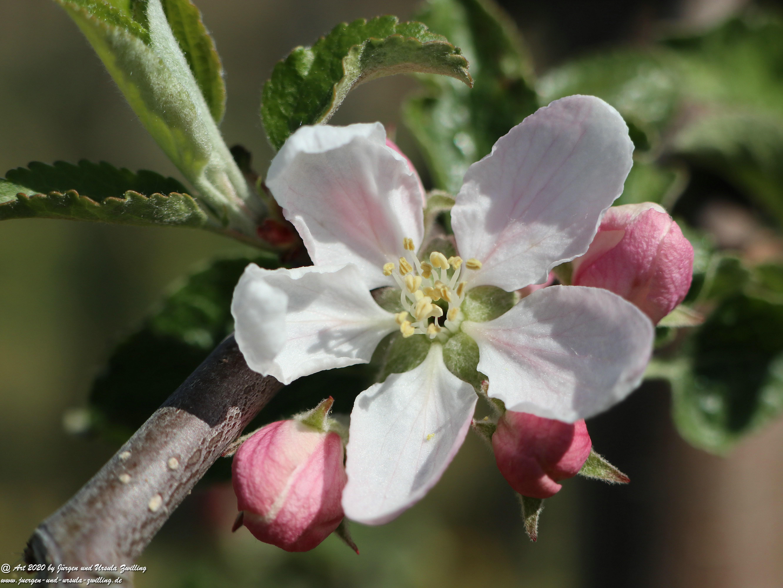 Apfelbaumblüte 3