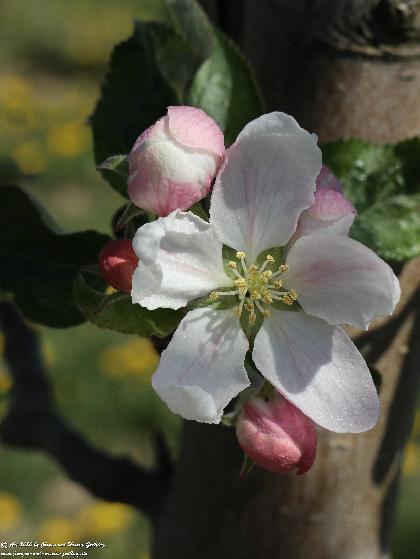 Apfelbaumblüte 4