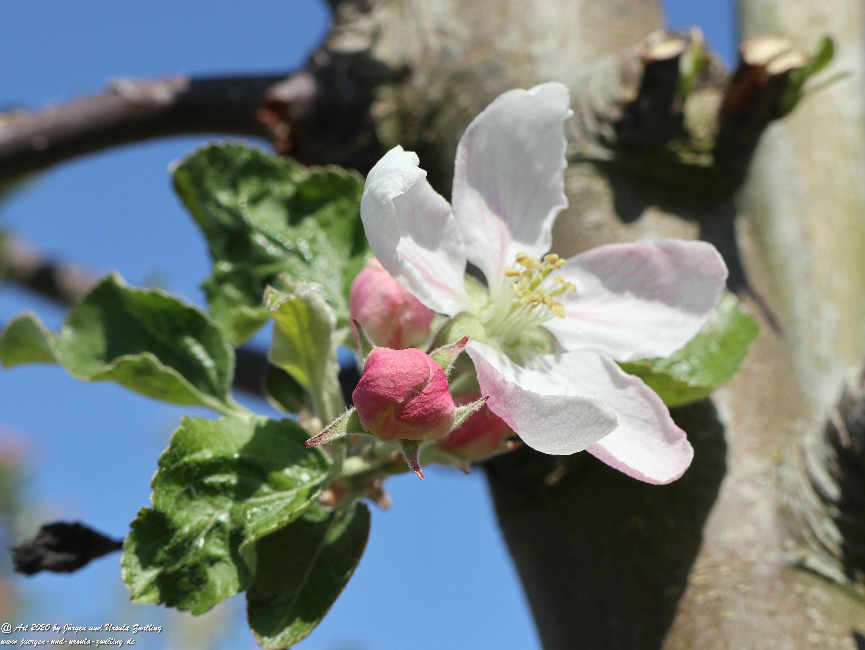 Apfelbaumblüte 5
