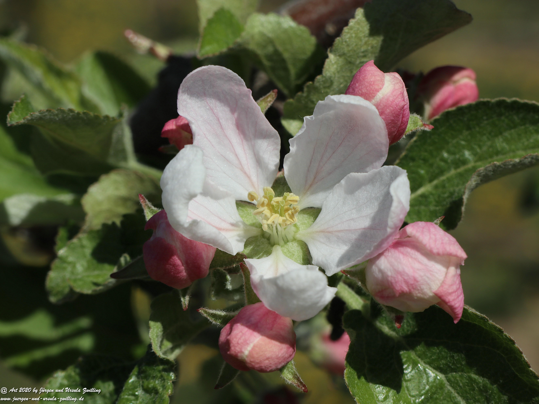 Apfelbaumblüte 8