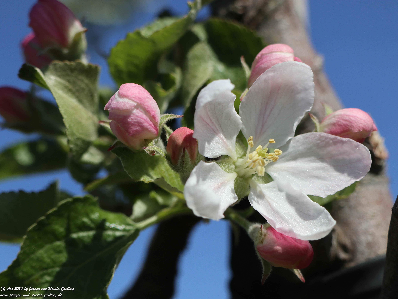 Apfelbaumblüte 9