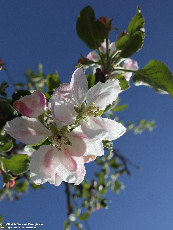 Apfelbaumblüte 10