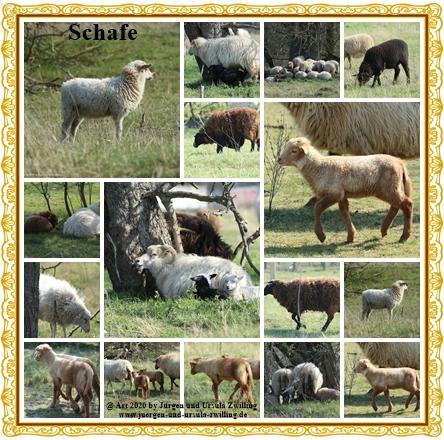 Schafe - Mainz Finthen - Rheinhessen