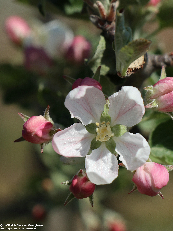 Apfelbaumblüte 11