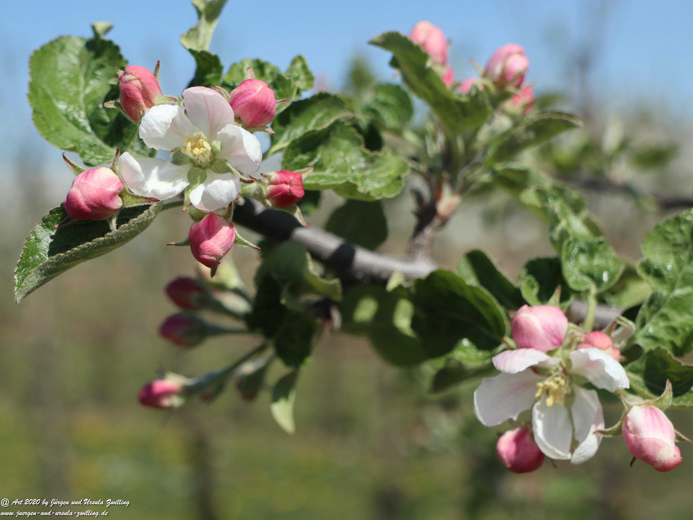 Apfelbaumblüte 12